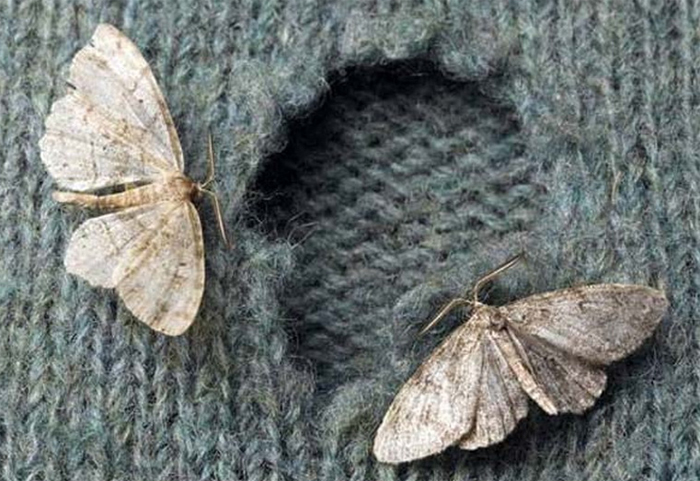 Moths: the silent enemy of your home. 8 useful tips to get rid of moths.