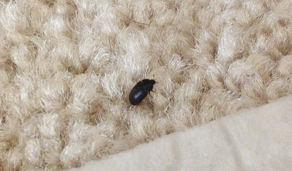 how to get rid of love bugs around the house