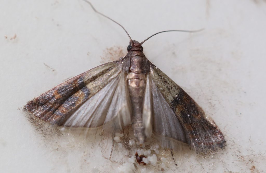 How To Get Rid Of Pantry Moths And Their Eggs Safely And