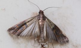 How to Get Rid of Pantry Moths and Their Eggs Safely and Permanently