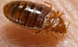 How to Get rid of Bed Bugs in Your Home (Quick and Natural)